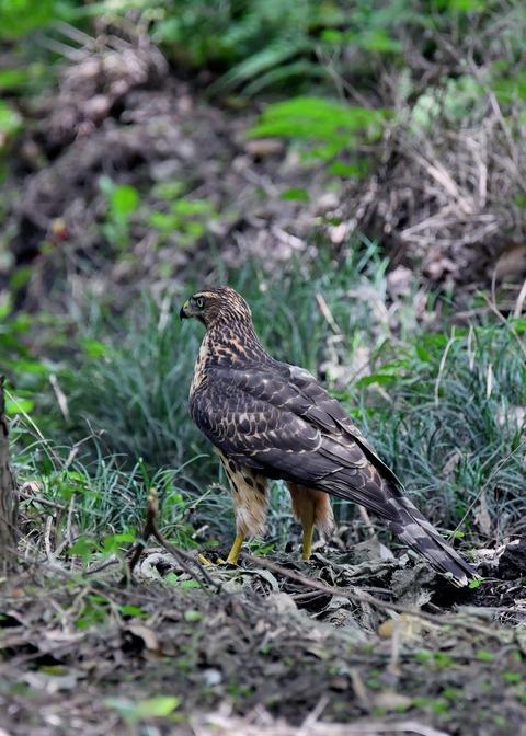 オオタカ幼鳥3304