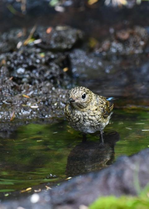 ルリビタキ幼鳥4024