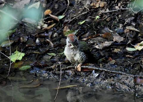 アオゲラ幼鳥♂8611
