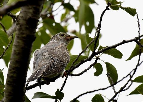 ツツドリ幼鳥5321