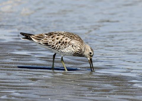 オバシギ若鳥1365