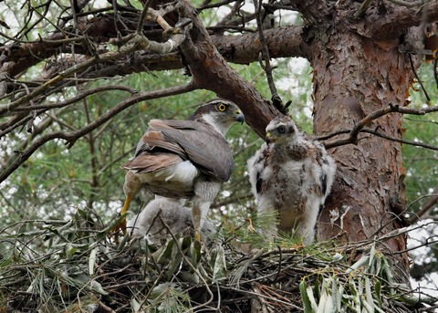 オオタカ♀とヒナ1855