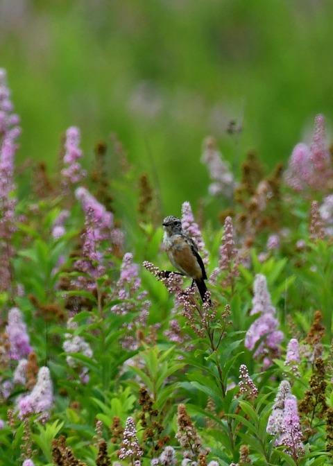 ノビタキ幼鳥2268