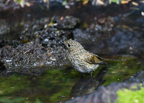 ルリビタキ幼鳥4026