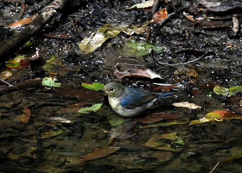 コルリ♂幼鳥4063