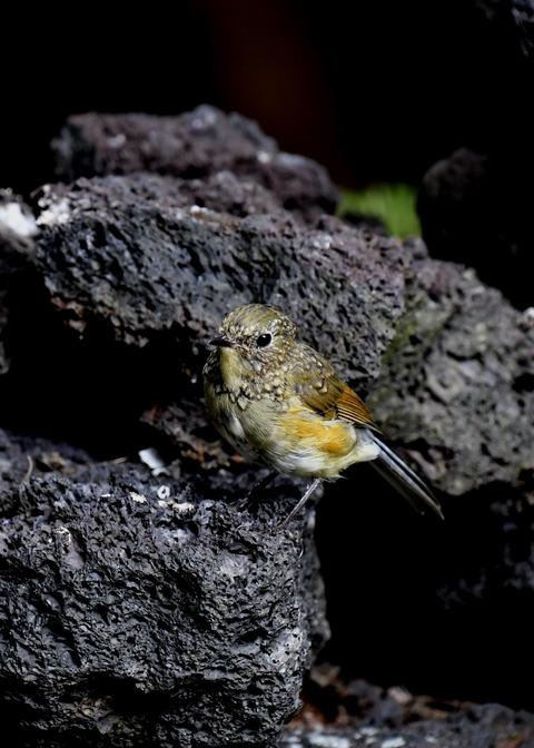 ルリビタキ幼鳥8773