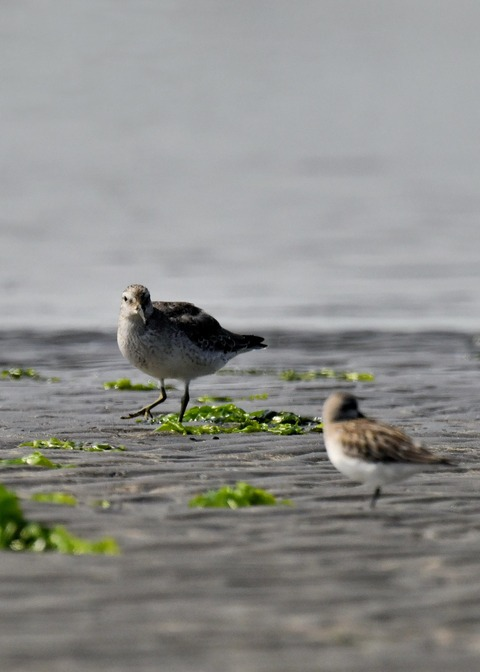 コオバシギ幼鳥4297