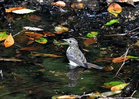 キビタキ幼鳥0803