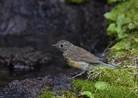 ルリビタキ幼鳥0999