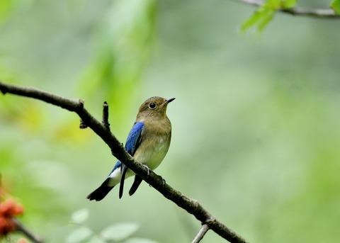 オオルリ♂若鳥0647