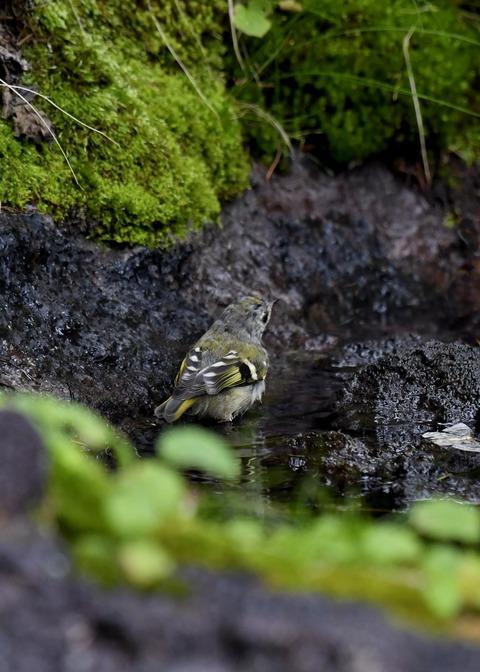 キクイタダキ幼鳥2841