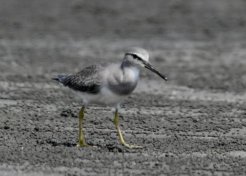 キアシシギ幼鳥9045