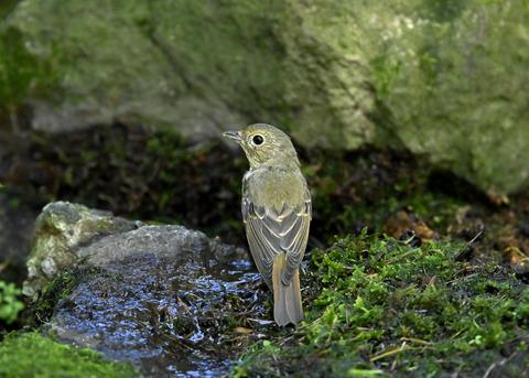 キビタキ♀幼鳥1304