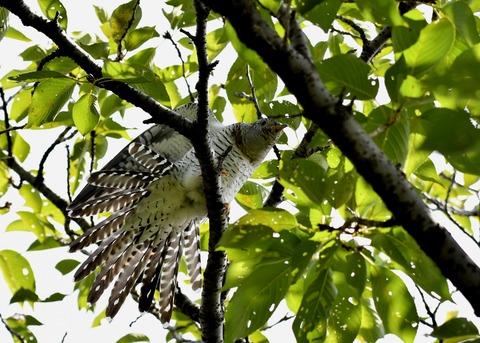 ツツドリ幼鳥5679