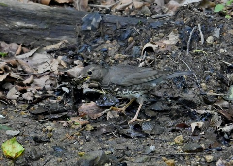クロツグミ幼鳥5875