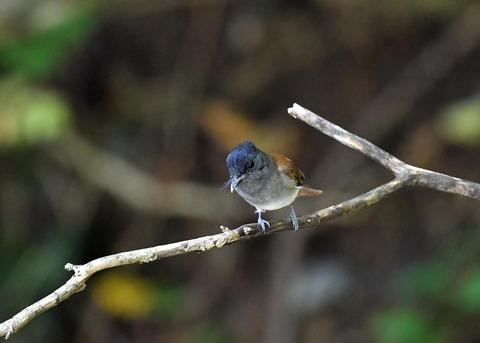 サンコウチョウ幼鳥5599