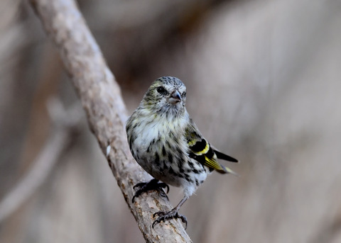 マヒワ若鳥3289