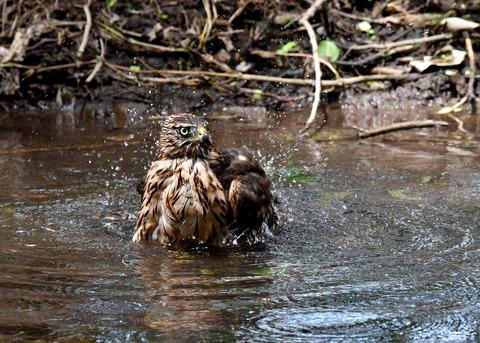 オオタカ幼鳥3957