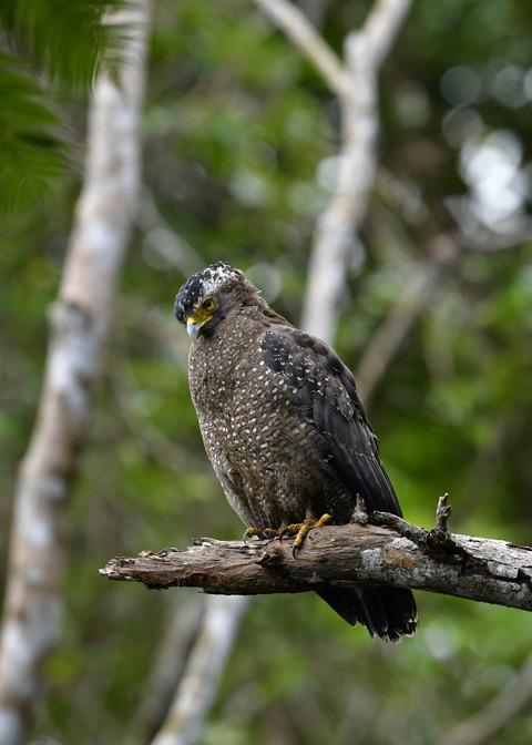 カンムリワシ成鳥5935