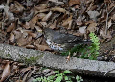 クロツグミ幼鳥6192