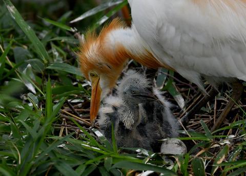 アマサギ(雛2・卵1)4017