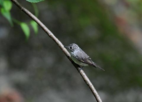 コサメビタキ幼鳥0237