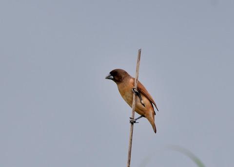 キンパラ幼鳥2106
