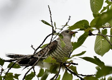 ツツドリ幼鳥5371