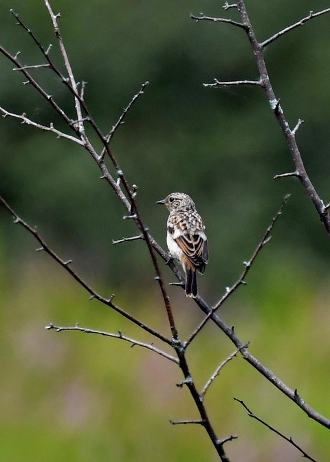 ノビタキ幼鳥1076