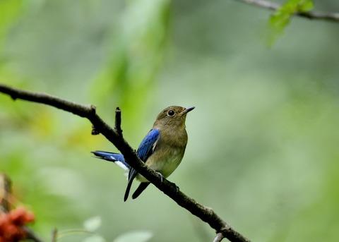オオルリ♂若鳥0641