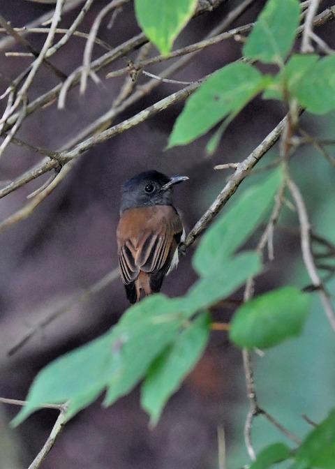 サンコウチョウ幼鳥5655