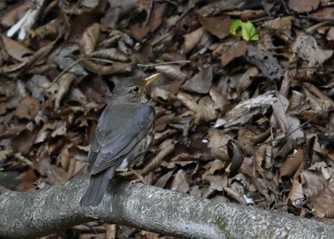 クロツグミ幼鳥6196