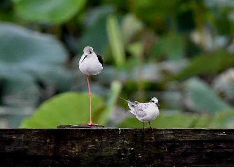 クロハラアジサシ幼鳥2837