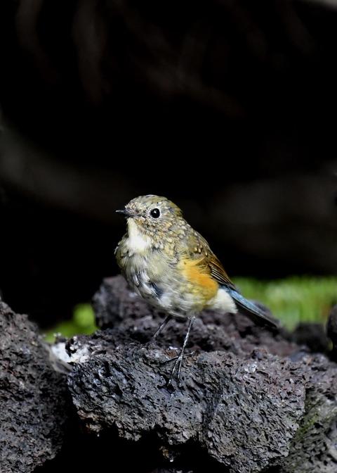 ルリビタキ幼鳥0884