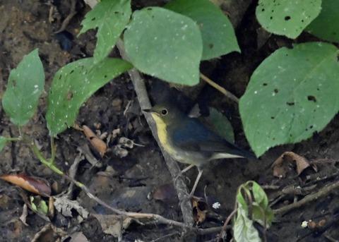 コルリ♂幼鳥2556