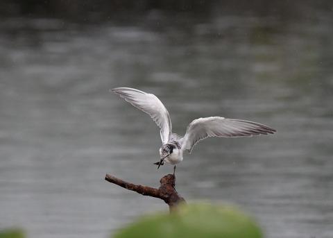 クロハラアジサシ幼鳥1845