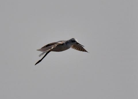 飛ぶ・コアオアシシギ7868
