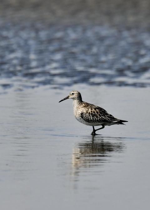 オバシギ若鳥1288