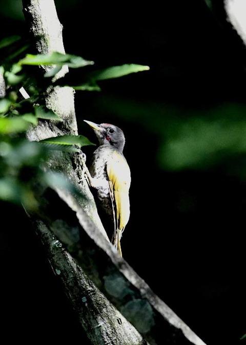 アオゲラ幼鳥♂8534