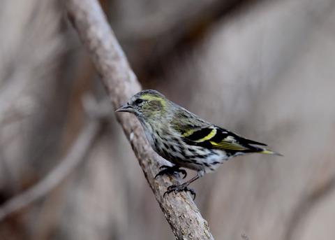 マヒワ若鳥3277