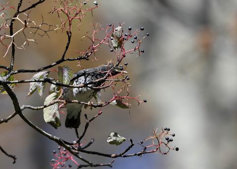 クロツグミ幼鳥3349