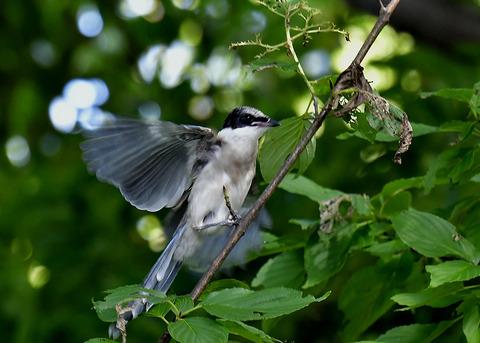 オナガ幼鳥0442