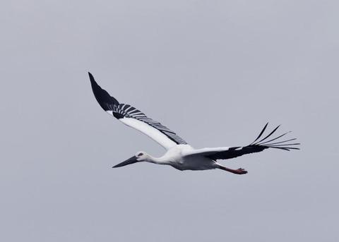 飛ぶ・コウノトリ3394