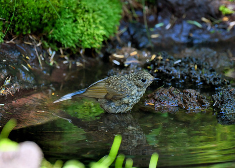 ルリビタキ幼鳥1890
