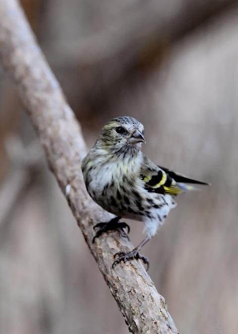 マヒワ若鳥3285