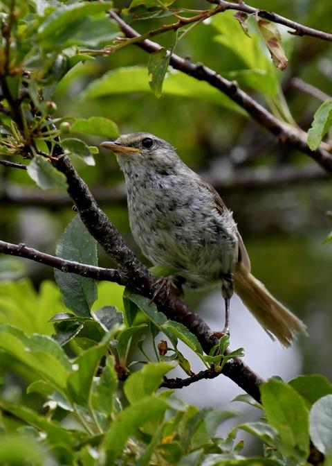 ウグイス幼鳥2721-01 - コピー