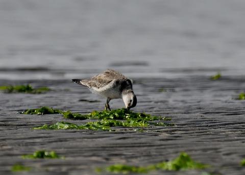 コオバシギ幼鳥4283