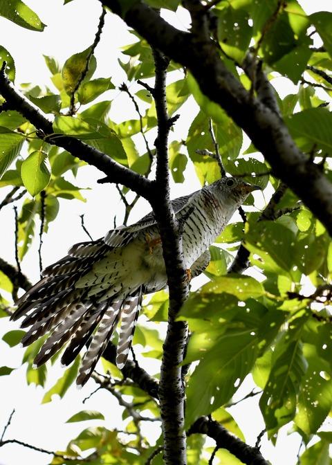 ツツドリ幼鳥5684