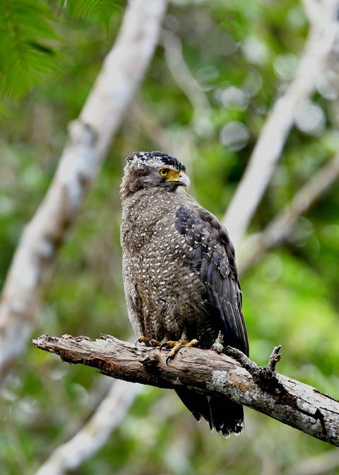 カンムリワシ成鳥5889
