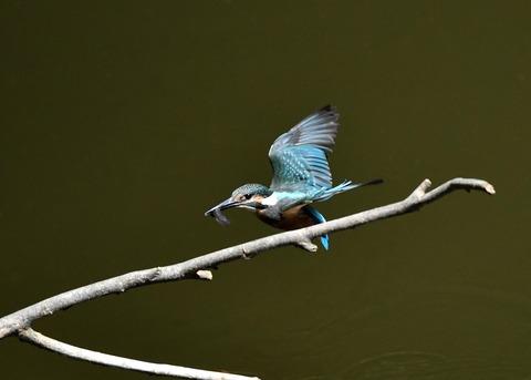 カワセミ若鳥5160
